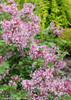 Scent And Sensibility Pink Lilac Branches Covered in Blooms