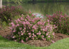 Scent And Sensibility Pink Lilac Shrubs Blooming by the River