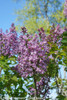 Scentara Double Blue Lilac Branch Covered in Flowers