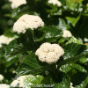 All That Glitters Viburnum Flowering