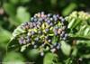 All That Glitters Viburnum Berries Up Close