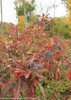 Large Brandywine Viburnum Shrub in Fall Covered With Berries