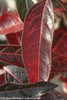 Red and Purple Brandywine Viburnum Leaves