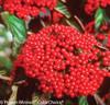 Cardinal Candy Viburnum Berries Close Up