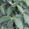 Emerald Envy Viburnum Leaves and Flower Buds