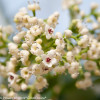 White Handsome Devil Viburnum Flowers and Buds Up Close