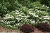 Large Wabi Sabi Viburnum Bushes Blooming