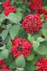 Red Balloon Viburnum Berries