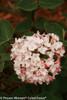 Spice Baby Viburnum Flowers Close Up
