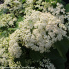 Tandoori Orange Viburnum with White Flowers