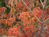 Tandoori Orange Viburnum Berries and Branches