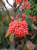 Tandoori Orange Viburnum With Small Red Berries
