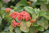 Tandoori Orange Viburnum Berries and Leaves