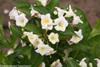 Czechmark Sunny Side Up Weigela Flowers and Foliage