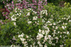 Czechmark Sunny Side Up Weigela With White and Yellow Flowers