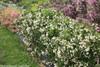 Czechmark Sunny Side Up Weigela Shrubs Covered in Blooms