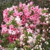 Czechmark Trilogy Weigela Flowers and Foliage