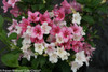 Pink and White Czechmark Trilogy Weigela Flowers