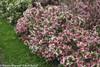 Czechmark Trilogy Weigela Shrub Covered in Flowers