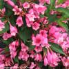 Pink Czechmark Twopink Weigela Flowers