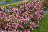 Czechmark Twopink Weigela Hedge