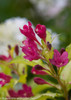 Pink Ghost Weigela Flowers Close Up