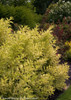 Golden Ghost Weigela Foliage