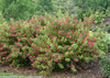 Large Ghost Weigela Shrub Covered in Blooms