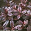 Dark Purple Midnight Wine Weigela Foliage and Leaves