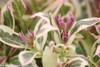 My Monet Weigela Foliage and Flower Buds Close Up