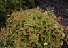 Burgandy Leaves on My Monet Sunset Weigela Shrub