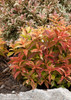 My Monet Sunset Weigela in the Landscaping