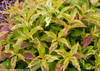 Orange Purple Yellow Green Leaves on My Monet Sunset Weigela