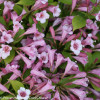 Pink and White Flowers on Snippet Lime Weigela Shrub