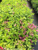 Lime Green Leaves on Snippet Lime Weigela Bushes