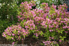 Snippet Lime Weigela Shrubs Blooming