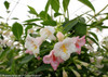 White and Pink Sonic Bloom Pearl Weigela Flowers