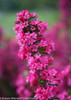 Sonic Bloom Pink Weigela With Pink Blooms