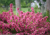Sonic Bloom Pink Weigela Branches Covered in Blooms