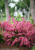 Sonic Bloom Pink Weigela Shrub Flowering