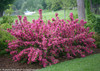 Sonic Bloom Pink Weigela Hedge Covered in Flowers