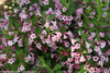 Sonic Bloom Pure Pink Weigela Foliage and Flowers