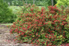 Sonic Bloom Red Weigela Shrub Covered in Blooms