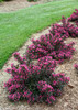 Spilled Wine Weigela Hedge
