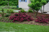 Spilled Wine Weigela Shrubs in the Landscaping