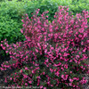 Wine and Roses Weigela Shrub Covered in Blooms