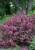 Large Wine and Roses Weigela Shrub