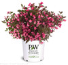 Wine and Roses Weigela in Proven Winners Pot