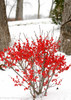 Berry Poppins Winterberry Holly in Winter With Snow