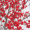 Berry Poppins Winterberry Holly Branches Up Close